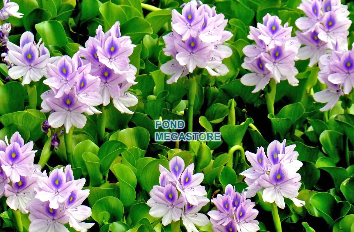Hardy Water Plants