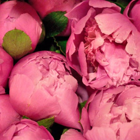 Peonies Delivery   Buy Peony Flowers Online   Miami Flower Market Peonies  Special Order
