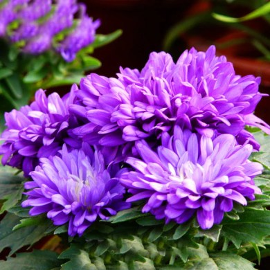 Purple Aster Flower Seeds     Jack Seeds Purple Aster Flower Seeds