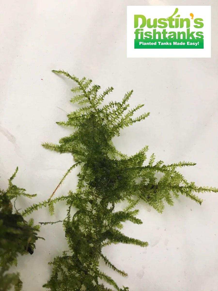 Hornwort Plant Sale