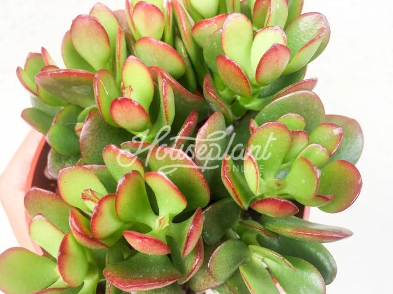 Mini Succulent Plants Sale