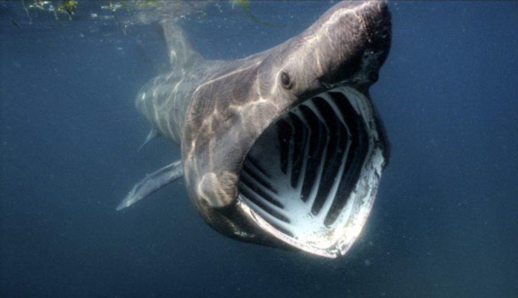 Үлкен акула (цеторинус Максимус)