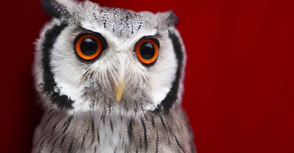 Superb Owl Sunday The Atlantic