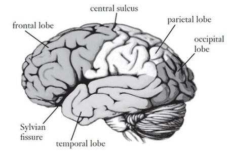 Interior brain diagram and functions electronic wallpaper brain is splayed out internal brain diagram and functions diy wiring diagrams atractivo parts of the brain diagram and function ornamento rh newsmasters ccuart Image collections