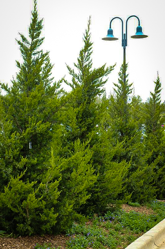 Green Columnar Juniper Tree For Sale The Tree Center