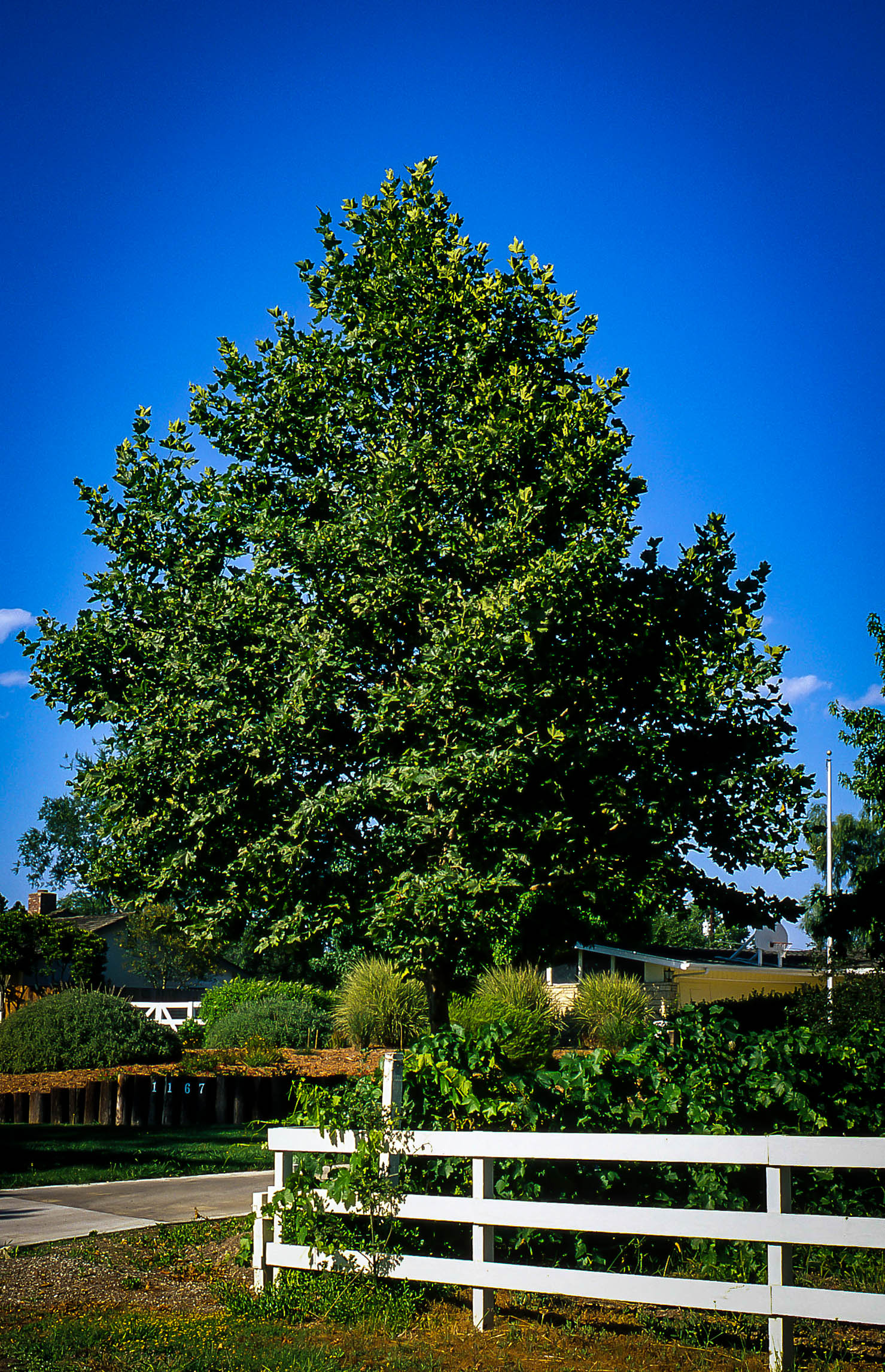 Bloodgood Sycamore Trees For Sale The Tree Center