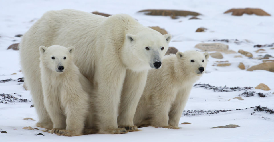 Tundra Polar Bear