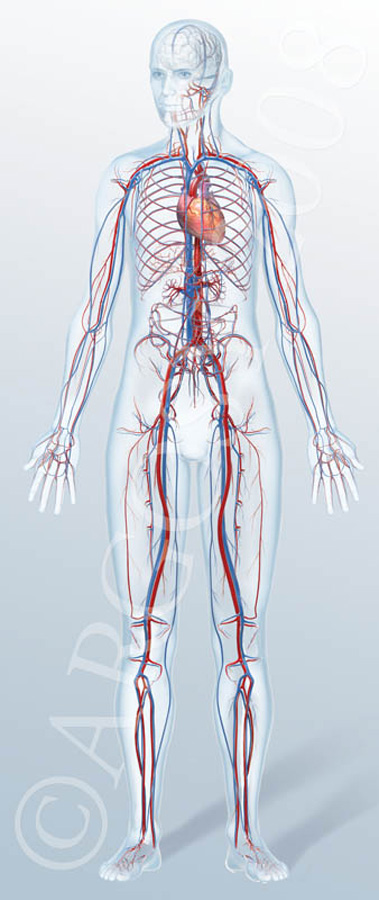 Learn about how the circulatory system works which is responsible to transporting blood in our body