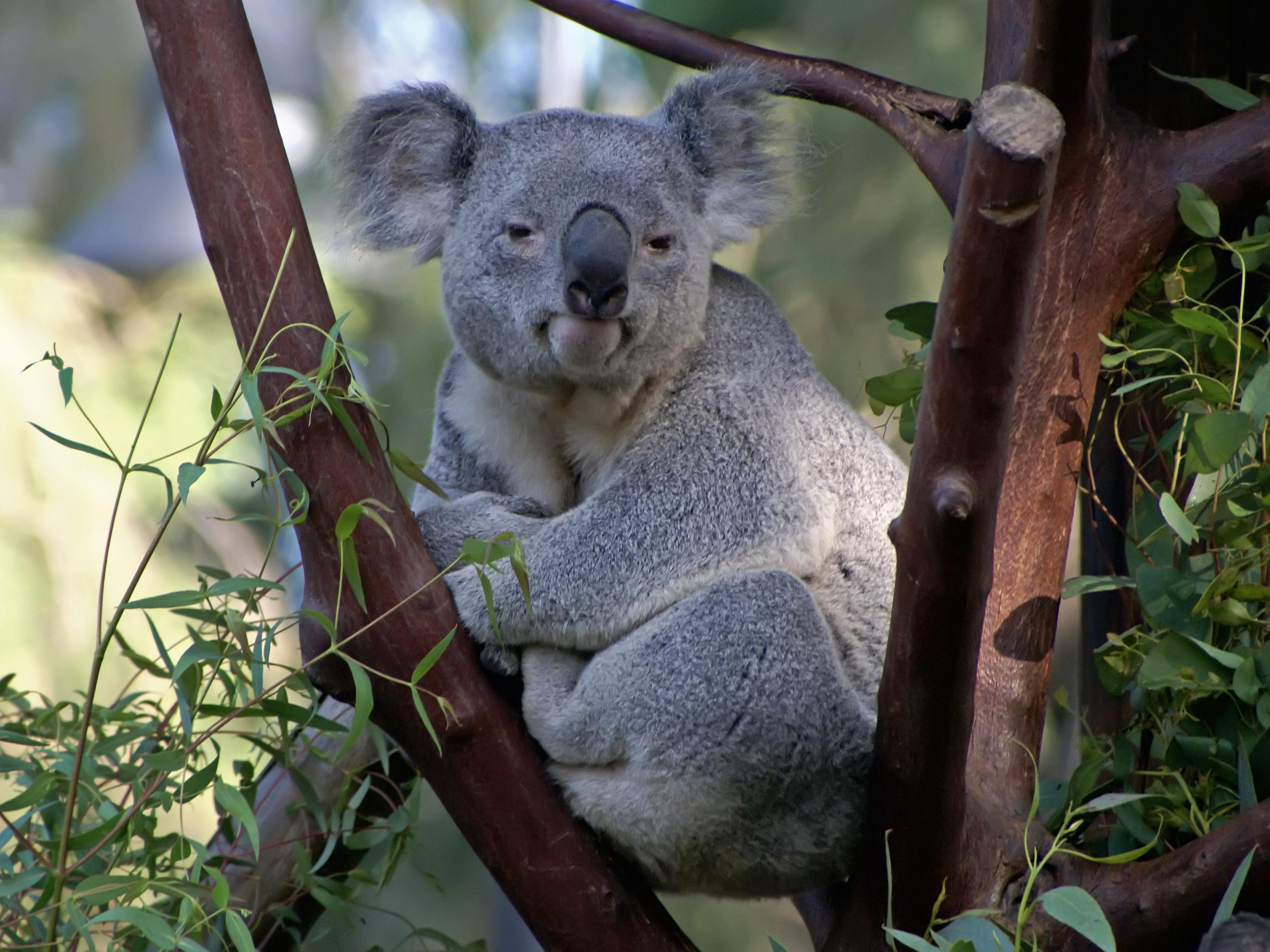 smiling koala picture - HD3260×2445
