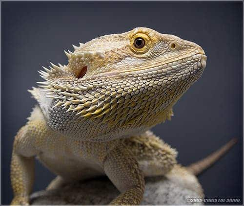Climate change is reversing the sex of bearded dragons, a ...