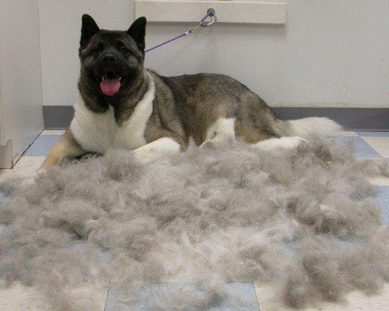 Long Coat German Shepherd Grooming