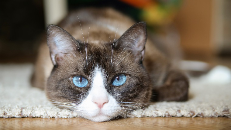 The 25 Most Popular Cat Breeds In The World Pictures