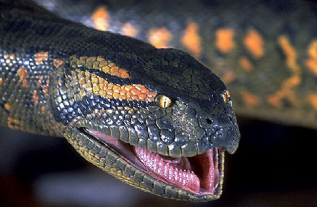 Man serves himself to snake in Discovery's 'Eaten Alive' - The AP Party