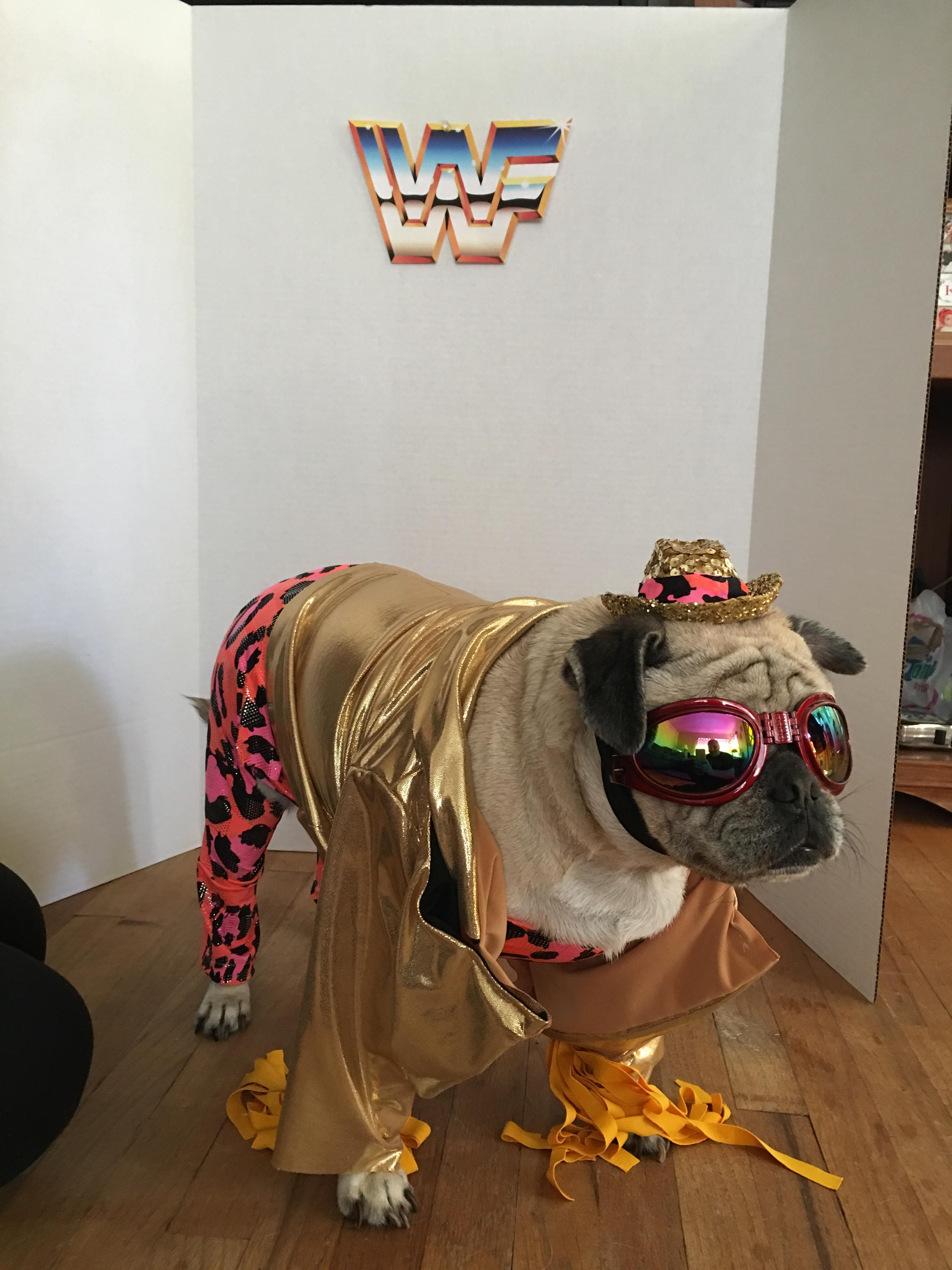 Dog Owner Gives Their Pug A Wwe Themed Photo Shoot No Really