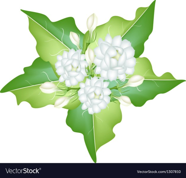 Jasmine Flowers on White Background Royalty Free Vector Jasmine Flowers on White Background vector image