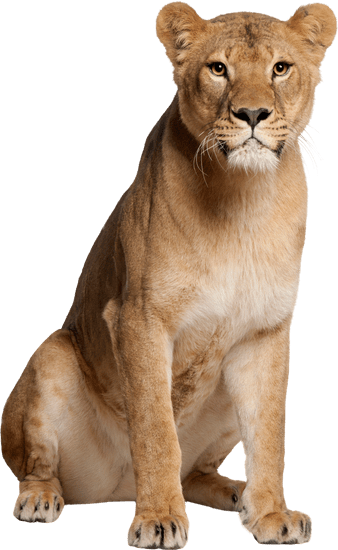 Popular And Trending Lioness Stickers On Picsart