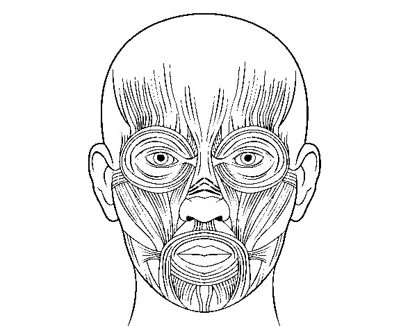 Face Anatomy Muscle Coloring Worksheet
