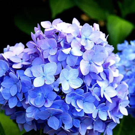 25 Most Beautiful Blue Flowers Blue hydrangea is an absolute breathtaking flower  Some blue hydrangeas  come in vivid and striking colours  while some are in subtle shades like  powder blue