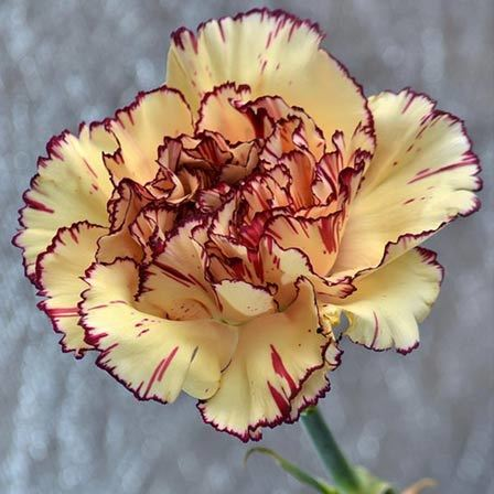 50 Most Beautiful Flowers In The World carnations flowers Pinit