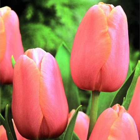 Top 25 Most Beautiful Tulip Flowers Tulip Menton is a classic variety of tulips with pinkish red flowers and  orange undertones  apricot interior  The flower has a lovely goblet shape  and is