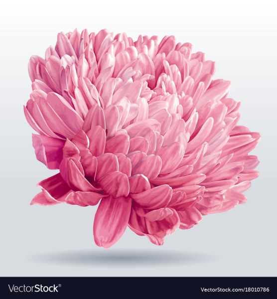 Luxurious pink aster flower Royalty Free Vector Image Luxurious pink aster flower vector image