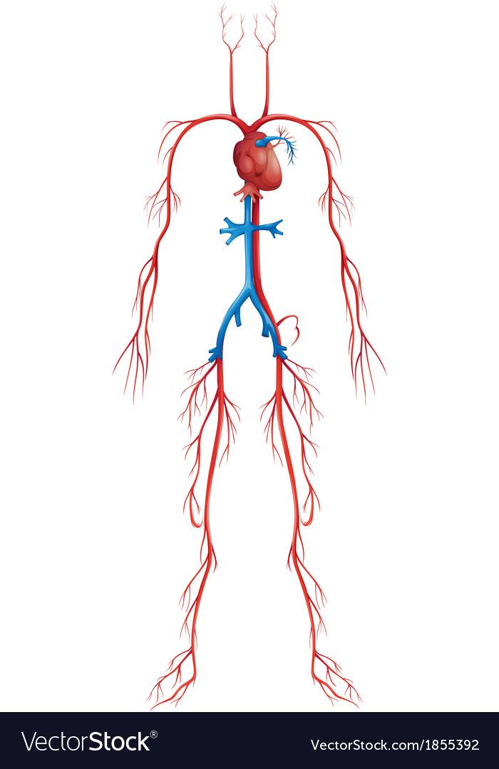 Circulatory System Royalty Free Vector Image - VectorStock