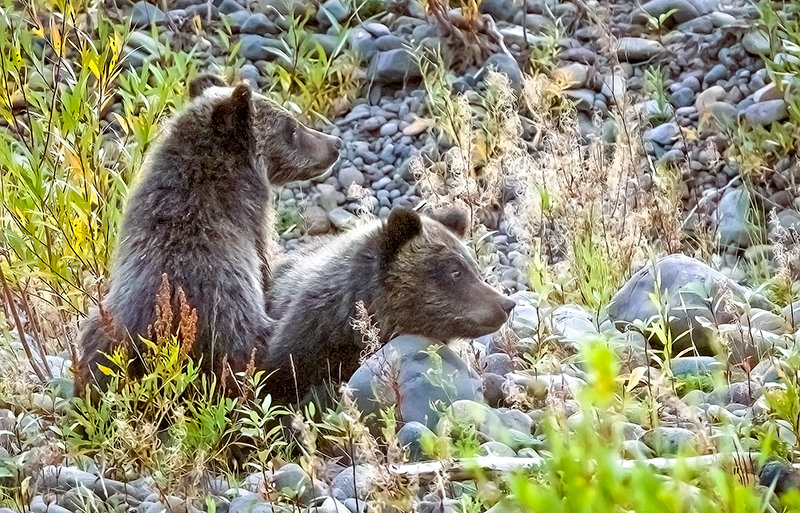 Motherless grizzly cubs in danger on North Fork Highway