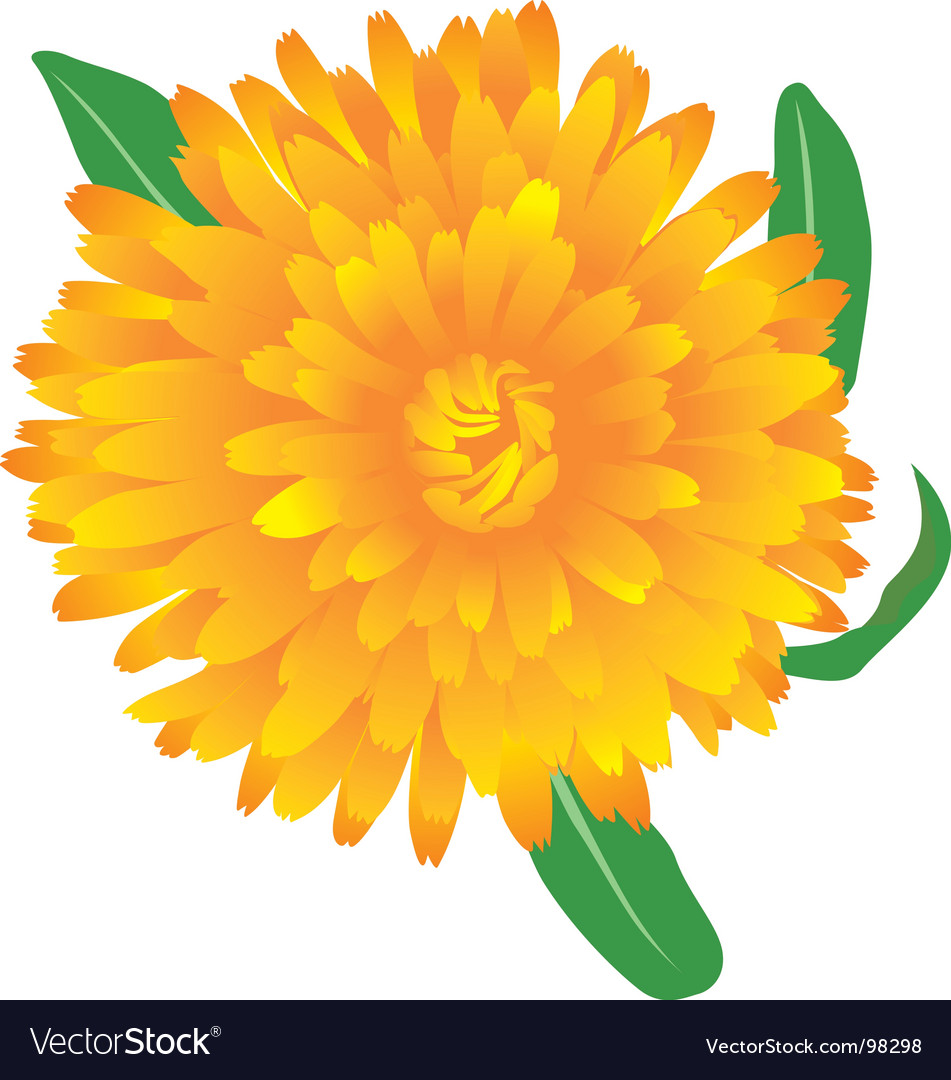 Marigold flower Royalty Free Vector Image   VectorStock Marigold flower vector image