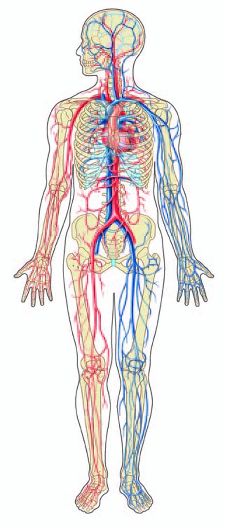 circulatory system images - 464×1084