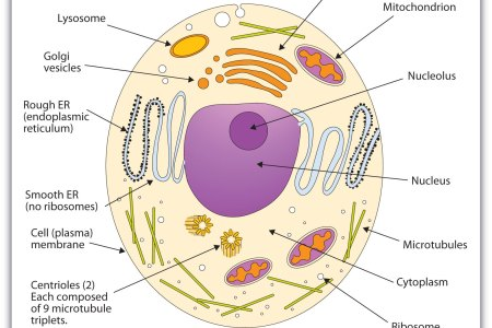 Animal flower arrangements animal cell animal cell diagram new diagrams generalized structure of animal cell under light microscope animal cell structure function and types of animal cell animal cell structure ccuart Image collections