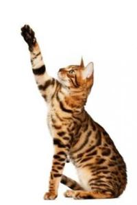 How Big Do Bengal Cats Get  Playful Bengal medium sized cat