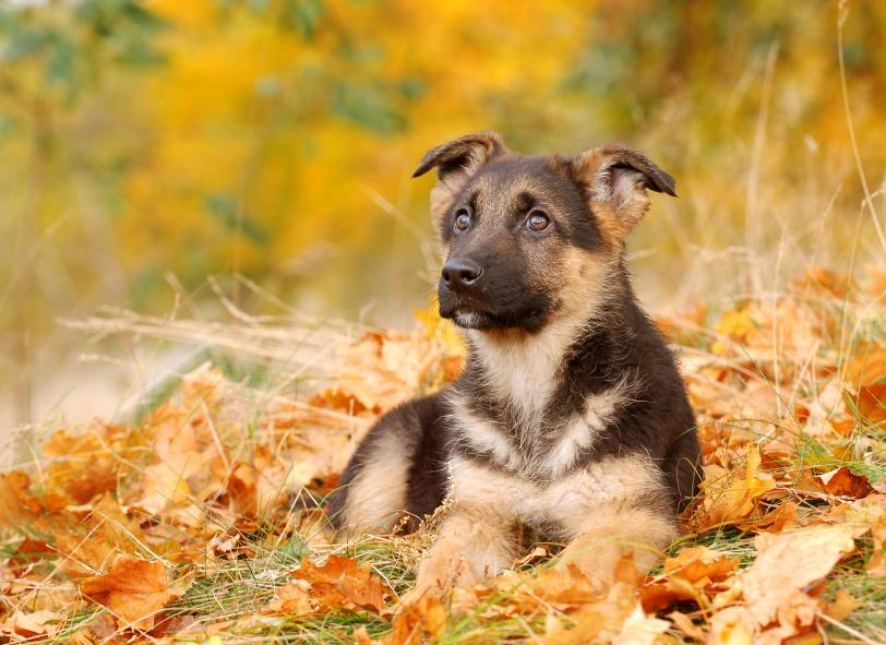 Puppy Wallpapers   LoveToKnow German Shepherd pup with fall background