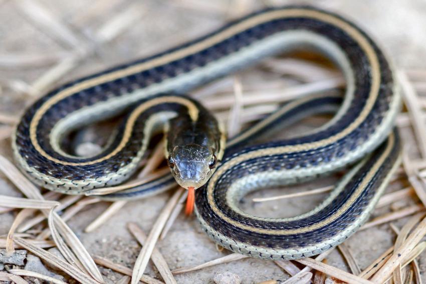 Garden Snakes Illinois