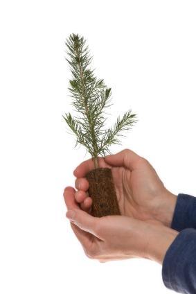 Conifer Seedlings Lovetoknow