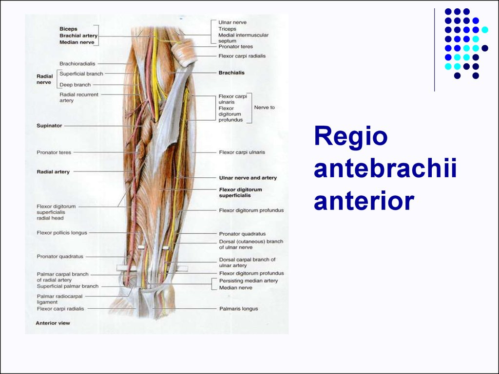 Middle Ear Bones Anatomy