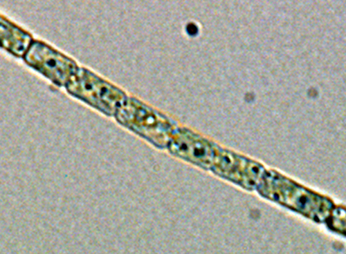 Volvox Diagram Labeled Bacteria