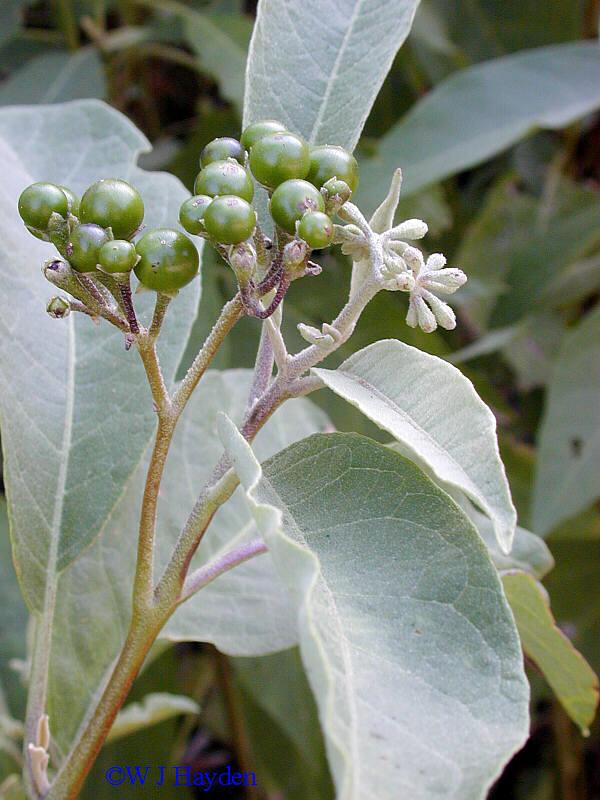Solanum Erianthum