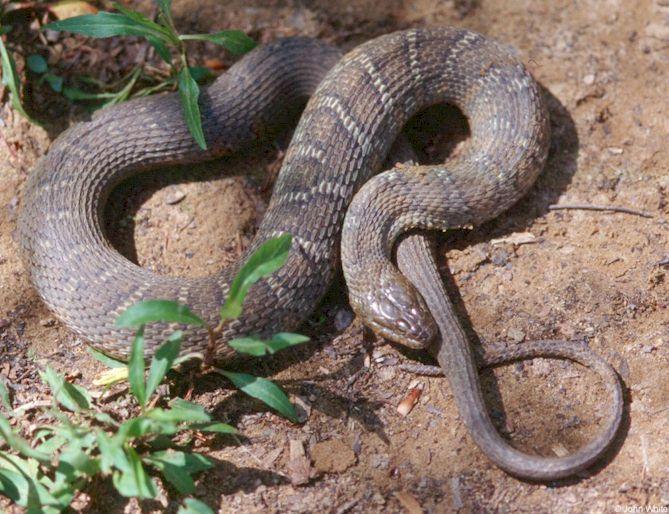 Types Snakes Virginia