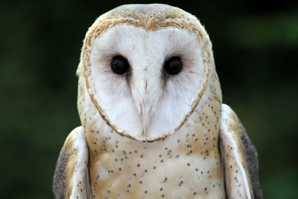 Barn Owl - Cincinnati Zoo & Botanical Garden®