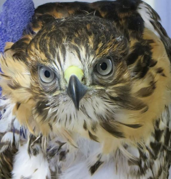 Weekly Update on Cornell Red tailed Hawk E3   circuitousjourney As posted on Facebook Bird Cam page today  July 10  2014