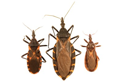 Kissing bug identification requires closer look - Insects ...