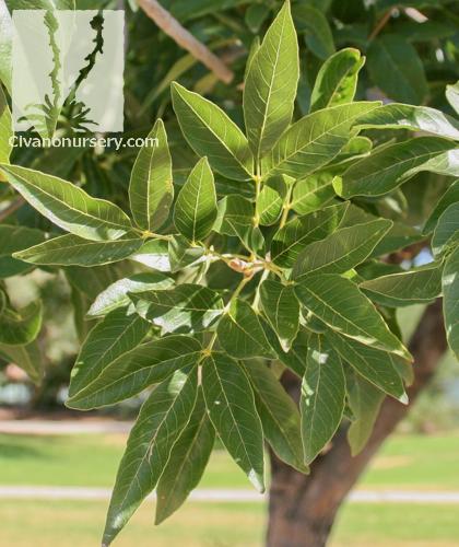 Ash Green Fall Leaves