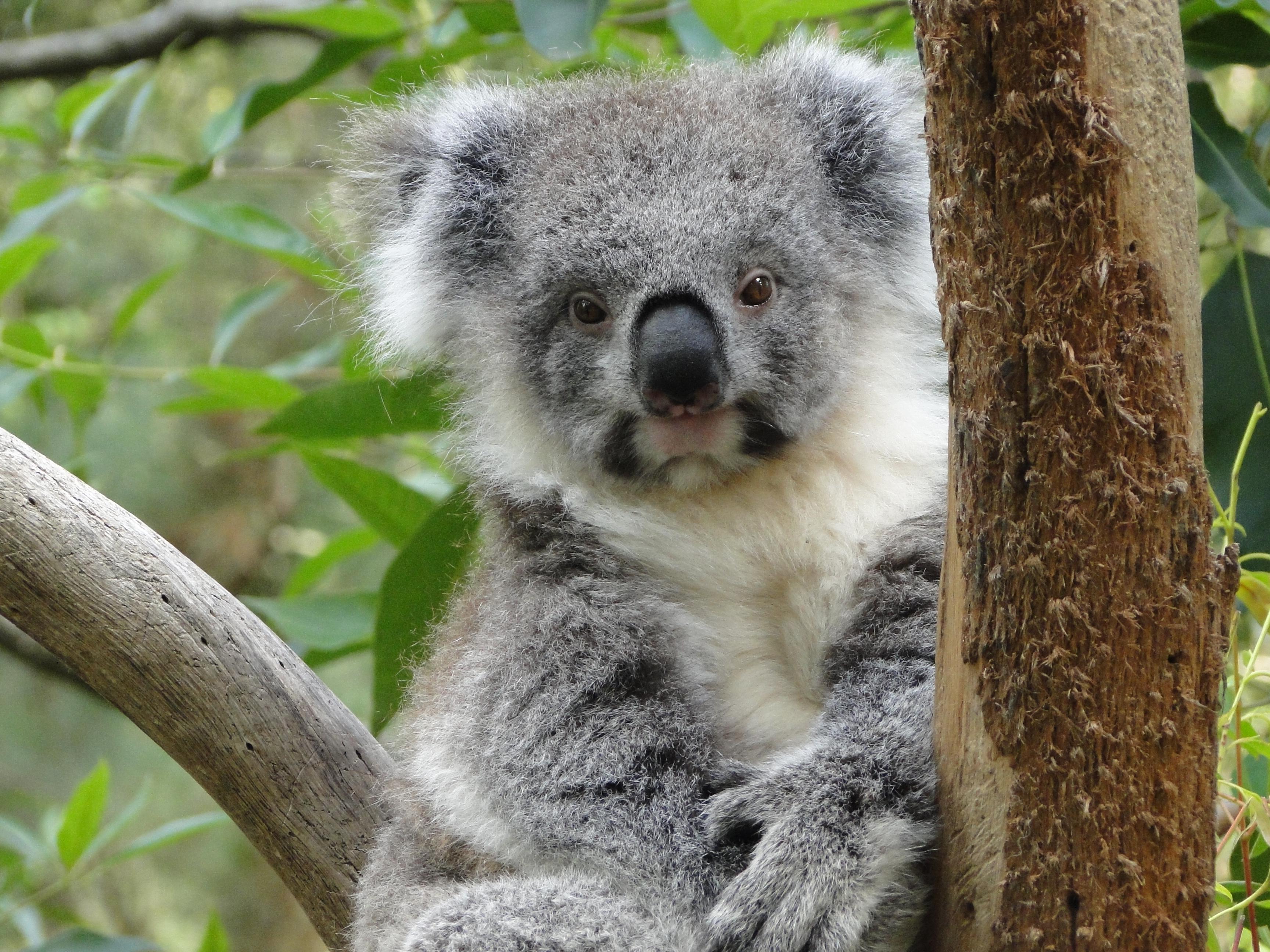 smiling koala picture - HD3456×2592