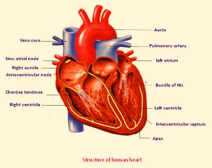 Function Circulatory System Labels
