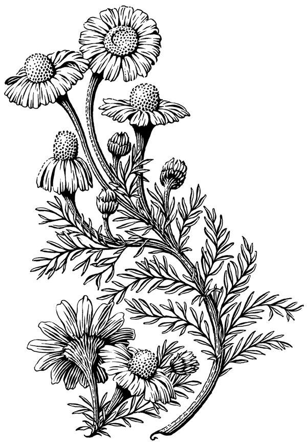 Flowers Hd Botanical Drawing