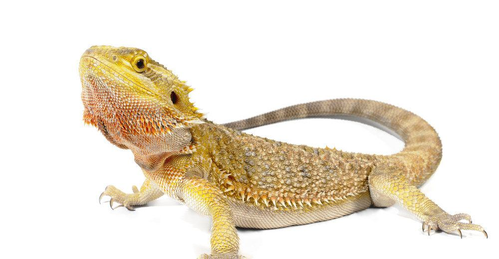 The Bearded Dragon Lizard: 7 Interesting Things That You ...
