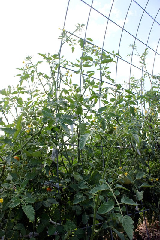 Above Ground Tomato Garden