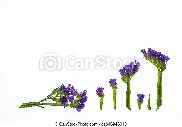 Arrangement of isolated purple statice flowers on white    stock     arrangement of isolated purple statice flowers   csp46946010