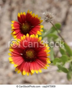 Indian blanket flowers  Indian blanket  gaillardia pulchella     Indian Blanket Flowers   csp2475909