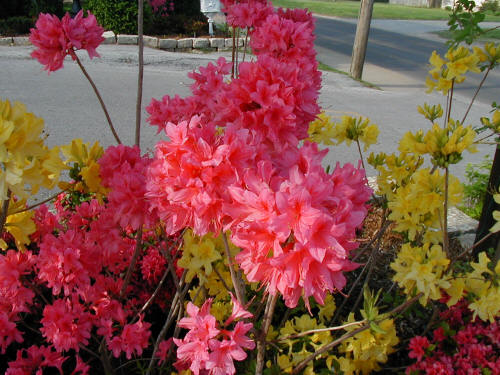 Northern Lights Azalea